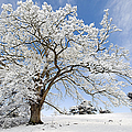 Snow Covered Winter Oak Tree by Tim Gainey