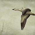 Snow Goose In Flight by Jeff Swanson