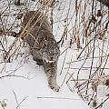Lynx-Snowshoeing