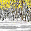Snowy Aspen Landscape by The Forests Edge Photography - Diane Sandoval