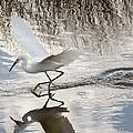 Snowy Egret Gliding Across The Water by John M Bailey