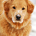 Snowy Golden Retriever by Christina Rollo
