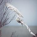Snowy Owl In Flight Print by Carrie Ann Grippo-Pike