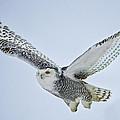 Snowy Owl In Flight by Everet Regal