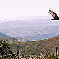 Soaring Over California - Condor In Morro Bay Coastal Hills by Artist and Photographer Laura Wrede