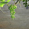 Solitary Grapes by Deb Martin-Webster
