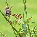 Song Sparrow by Rima Biswas
