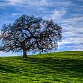 Sonoma Tree by Chris Austin