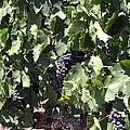Sonoma Vineyards In The Sonoma California Wine Country 5d24489 by Wingsdomain Art and Photography
