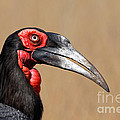 Southern Ground Hornbill Portrait Side View by Johan Swanepoel