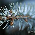Sparkling Pine by Darren Fisher