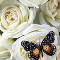 Speckled Butterfly On White Rose by Garry Gay