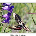 Sphinx Moth And Lupi...
