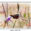 Sphinx Moth Art