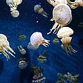 Spotted Jelly Fish 5d24951 by Wingsdomain Art and Photography