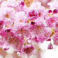 Spring Cherry Blossoms  by Elena Elisseeva