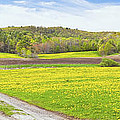 Spring Farm Landscape With Dirt Road And Dandelions Maine by Keith Webber Jr