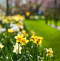Spring In Holland. Garden Keukenhof by Jenny Rainbow