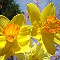 Spring Orange Yellow Daffodil Flowers Art Prints by Baslee Troutman