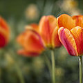 Spring Tulips Print by Adam Romanowicz