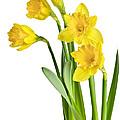 Spring Yellow Daffodils by Elena Elisseeva