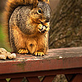 Squirrel Eating A Peanut by  Onyonet  Photo Studios