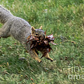 Squirrel Nest Bulding by Robert Bales
