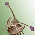 Stalk-eyed Fly, Sem by Science Photo Library