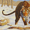 Stalking Siberian Tiger by Crista Forest