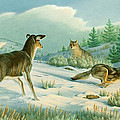 Stand-off  -whitetail Doe And Coyotes by Paul Krapf
