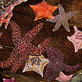 Starfish Variety 5d24133 by Wingsdomain Art and Photography