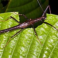 Stick insect feeding on a leaf Print by Science Photo Library