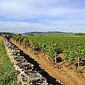 Stone Wall. Vineyard. Cote De Beaune. Burgundy. France. Europe by Bernard Jaubert