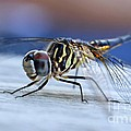 Stop By Tiger Dragon Fly by Peggy  Franz