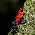 Strawberry Poison Frog by Science Photo Library