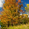 Sugar Maple 3 by Steve Harrington