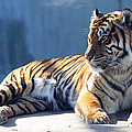 Sumatran Tiger 7d27276 by Wingsdomain Art and Photography