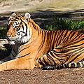 Sumatran Tiger 7d27310 by Wingsdomain Art and Photography