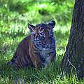 Sumatran Tiger Cub by Garry Gay