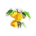 Sun Kissed Apricots by Irina Sztukowski