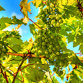 Sun kissed green grapes Print by Eti Reid