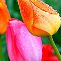 Sunday Shower Tulip by Christy Phillips