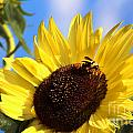 Sunflower and Bee-38...