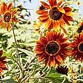 Sunflower Cluster by Kerri Mortenson