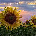 Sunflower Field Print by Debra and Dave Vanderlaan
