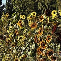 Sunflower Fields Forever by Peggy Hughes