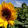 Sunflower Glow by Kerri Mortenson