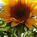 Sunflower Highlight by Kerri Mortenson