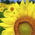 Sunflower In Field by Elena Elisseeva