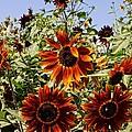 Sunflower Layers by Kerri Mortenson